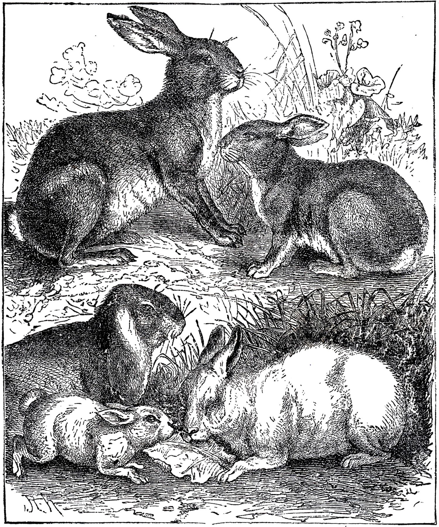 Vintage Rabbits Illustration