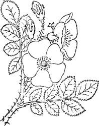 rose wild sketch flowers roses flower flores clipart fairy graphics thegraphicsfairy lovely desenhar desenhando sketched desenhos drawn nice illustrations rock
