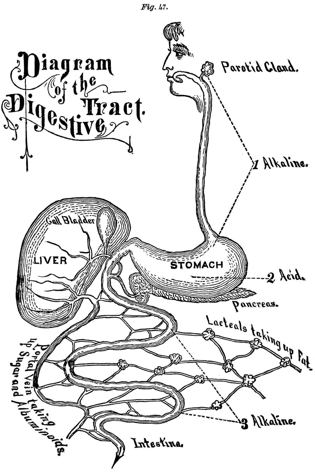 Vintage Digestion Diagram