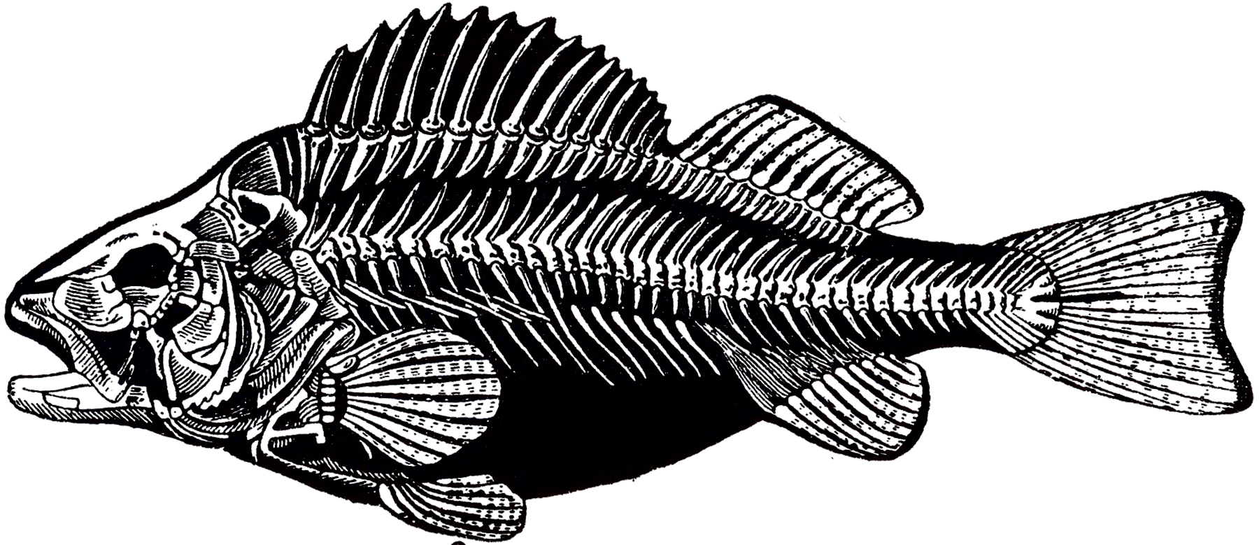 Vintage Fish Skeleton Image