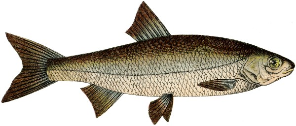 free fish clip art - graphics