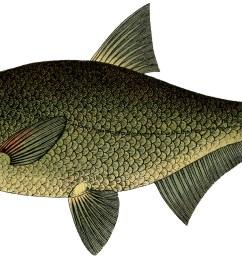 narrow bodied fish clip art [ 1800 x 1001 Pixel ]