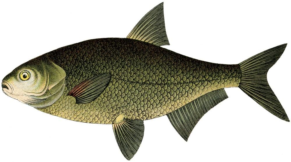 medium resolution of narrow bodied fish clip art