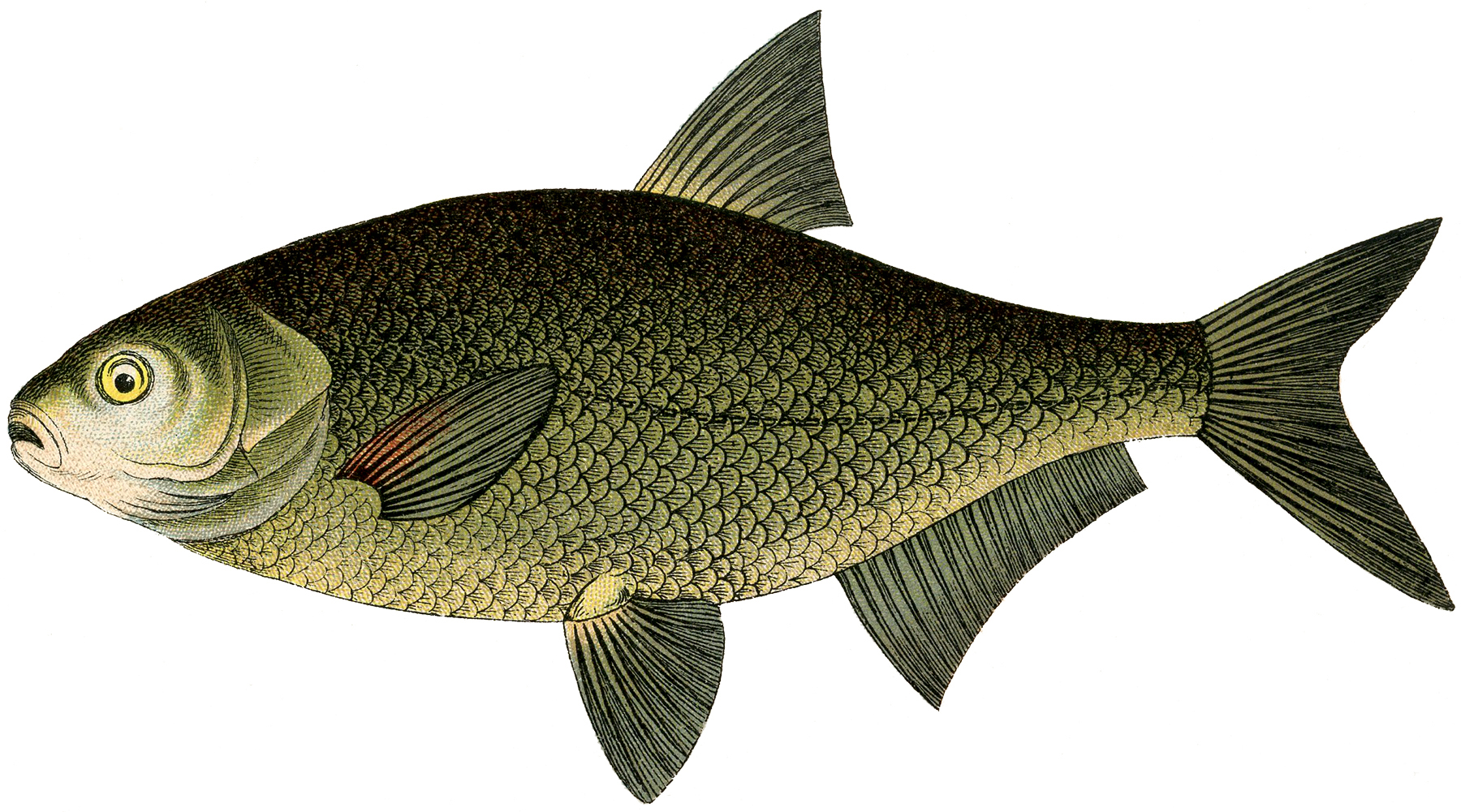 hight resolution of narrow bodied fish clip art