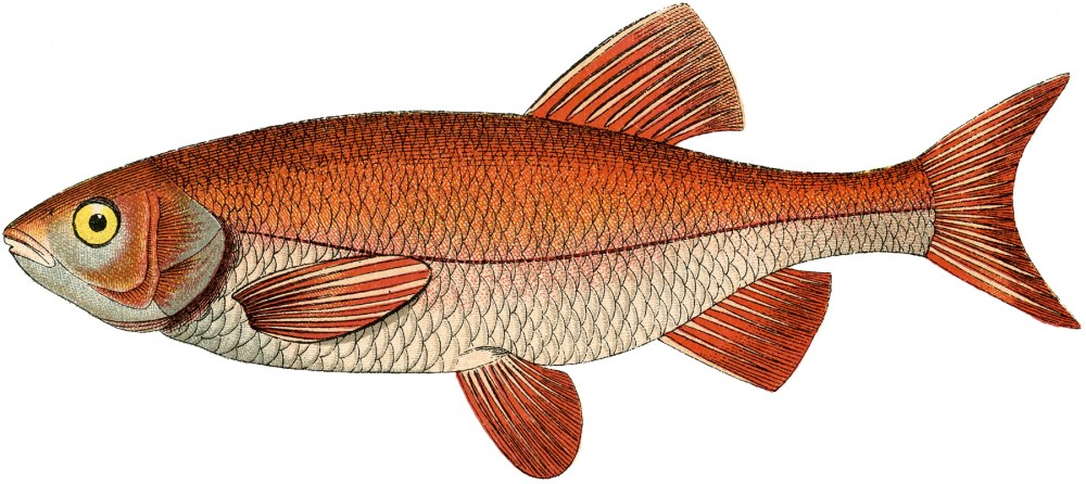 medium resolution of fresh water fish clipart