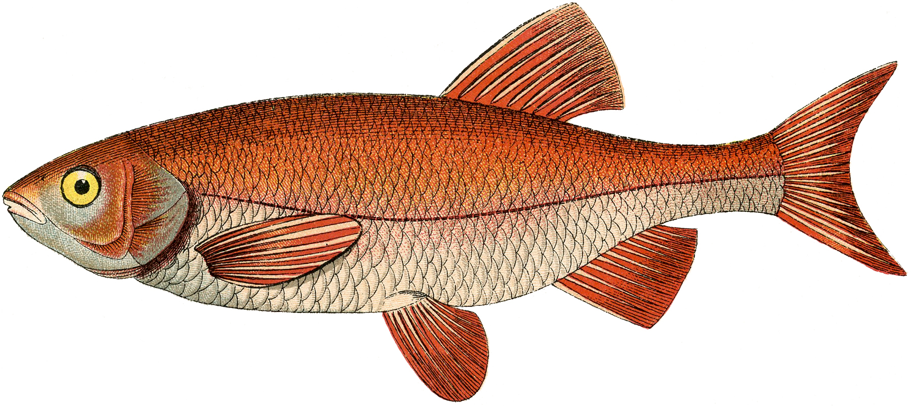 hight resolution of fresh water fish clipart