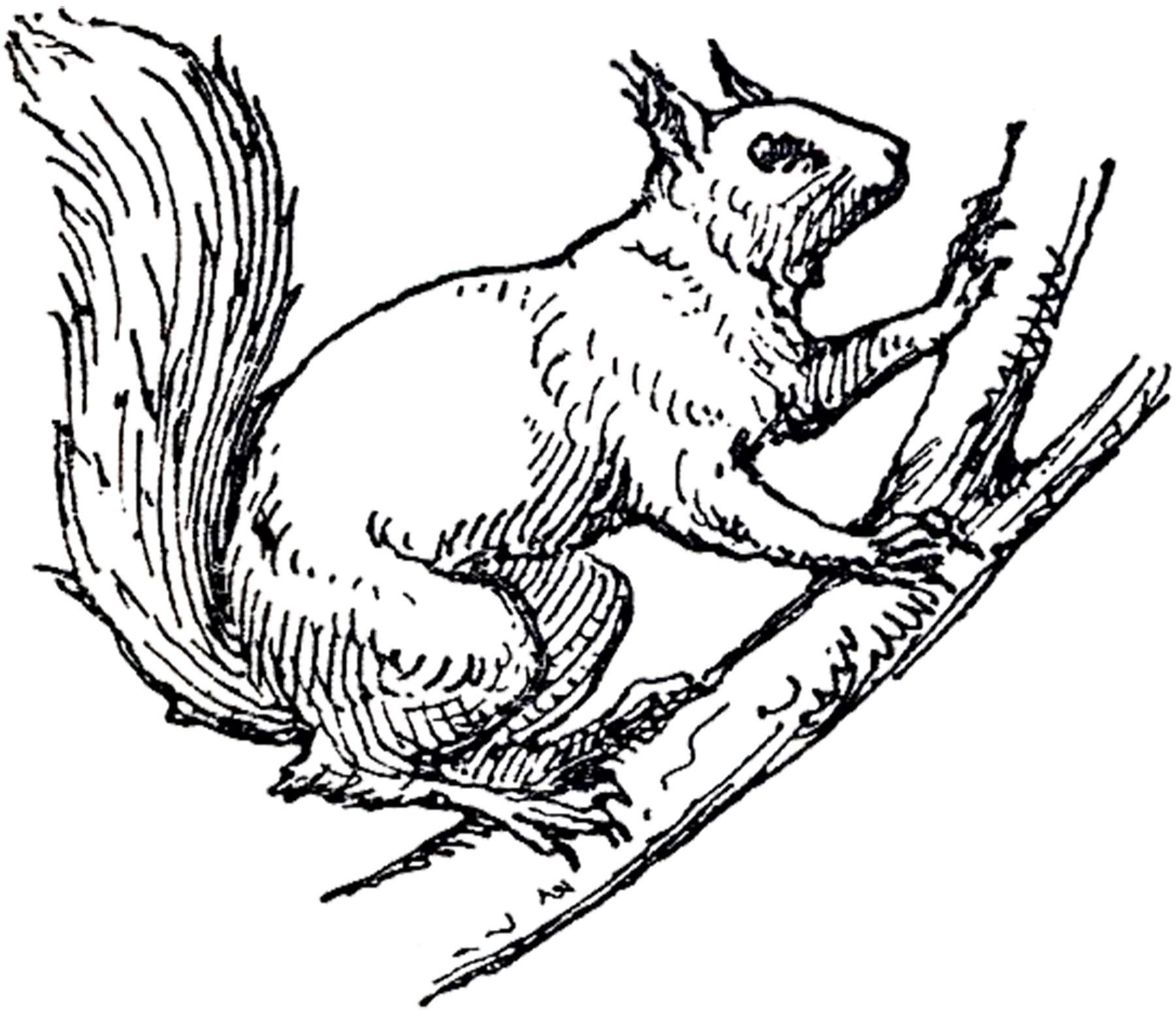 Vintage Squirrel Illustration