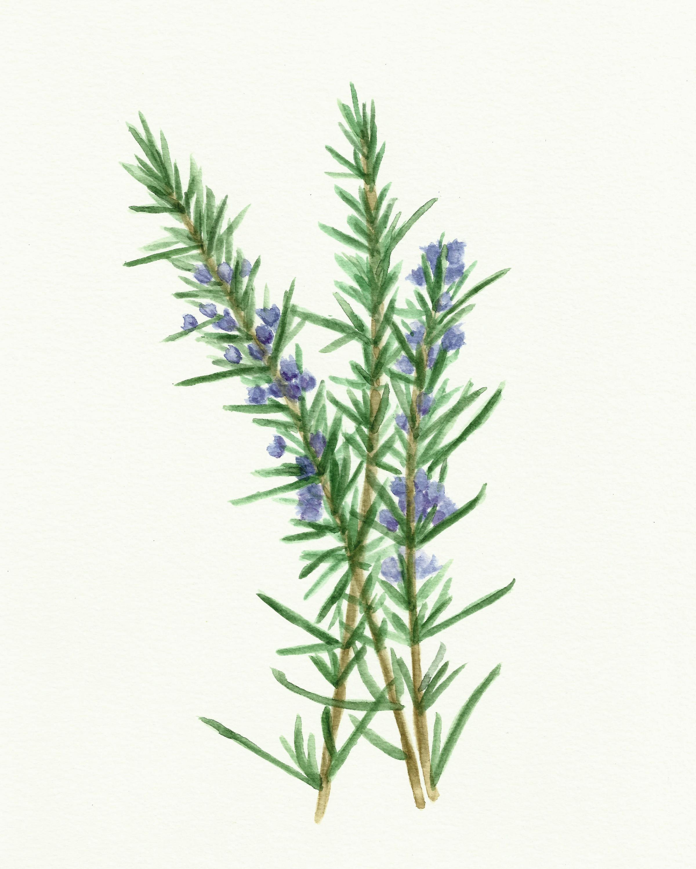 Free Herb Watercolor Printables Rosemary And Oregano