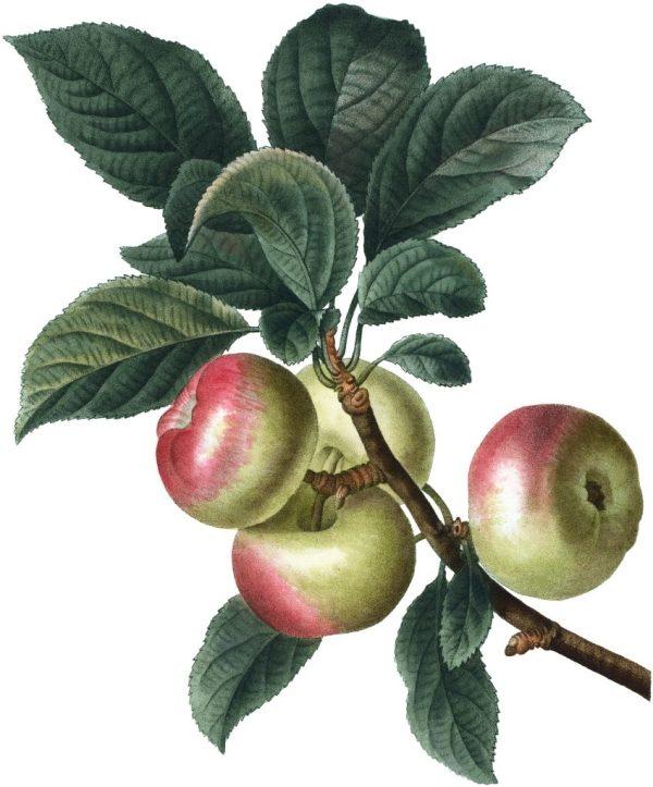 7 apple clip art
