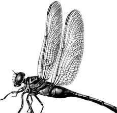 6 dragonfly - graphics