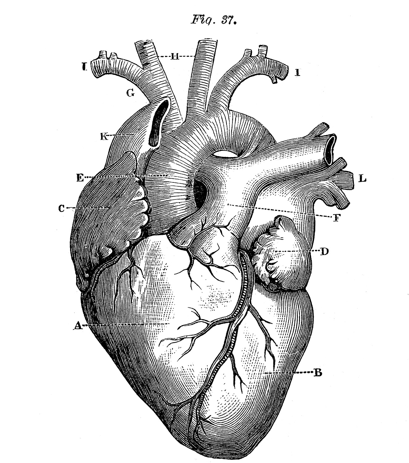 realistic heart diagram bpt door entry handset wiring 5 anatomical pictures the graphics fairy