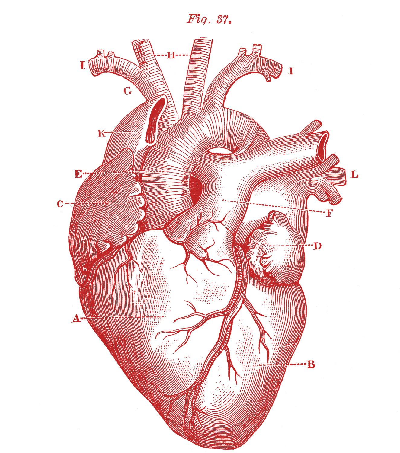 anatomical heart diagram of planets real 5 pictures the graphics fairy