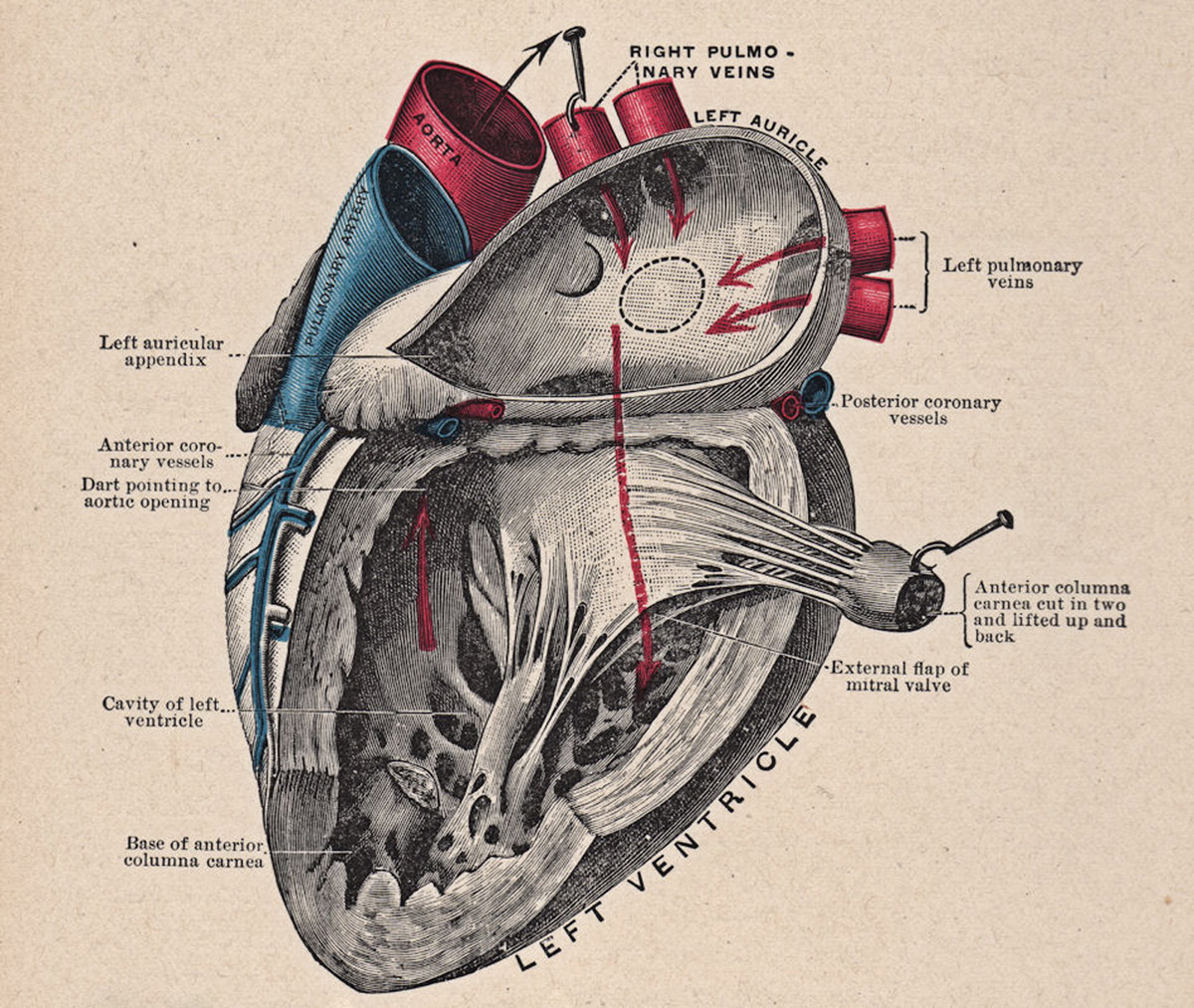 anatomical heart diagram john deere 425 pto wiring 5 pictures the graphics fairy anatomy