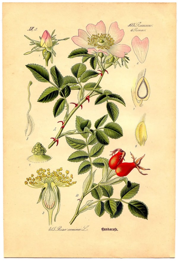 Instant Art Printable - Wild Rose Botanical # 4
