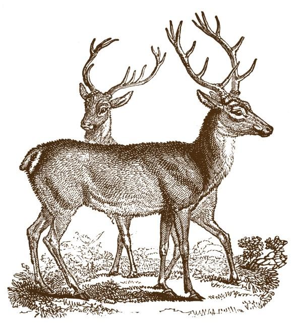 vintage clip art - lovely deer