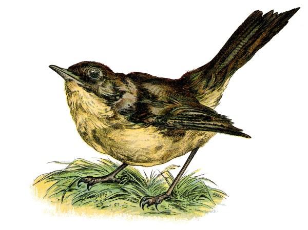 vintage clip art - sweet nightingale