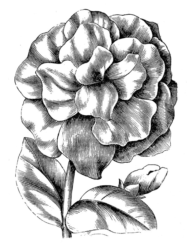 vintage floral clip art - petunias