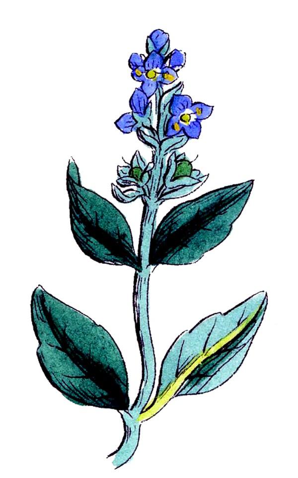Vintage Botanical Graphics - Pretty Wildflowers