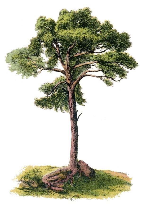Vintage - Gorgeous Tree Graphics Fairy
