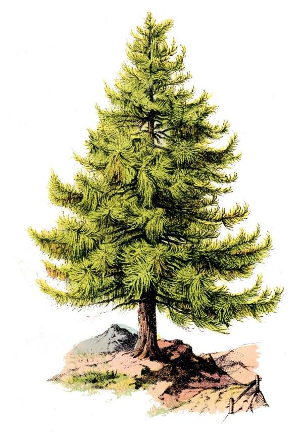 Pine Tree Graphic