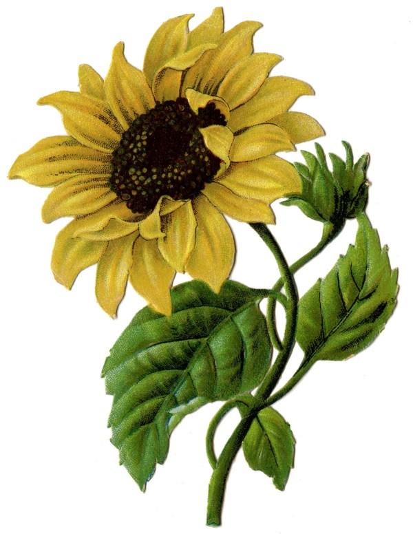 vintage graphic - beautiful sunflower