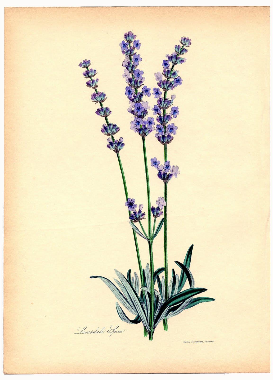 Instant Art Printable - Superb Lavender Botanical - The