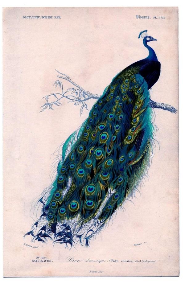 Vintage Peacock Clip Art
