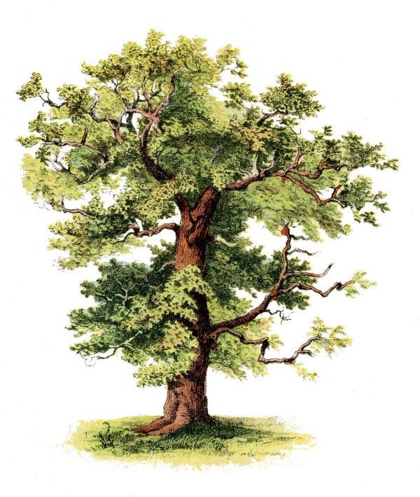 antique clip art - beautiful tree