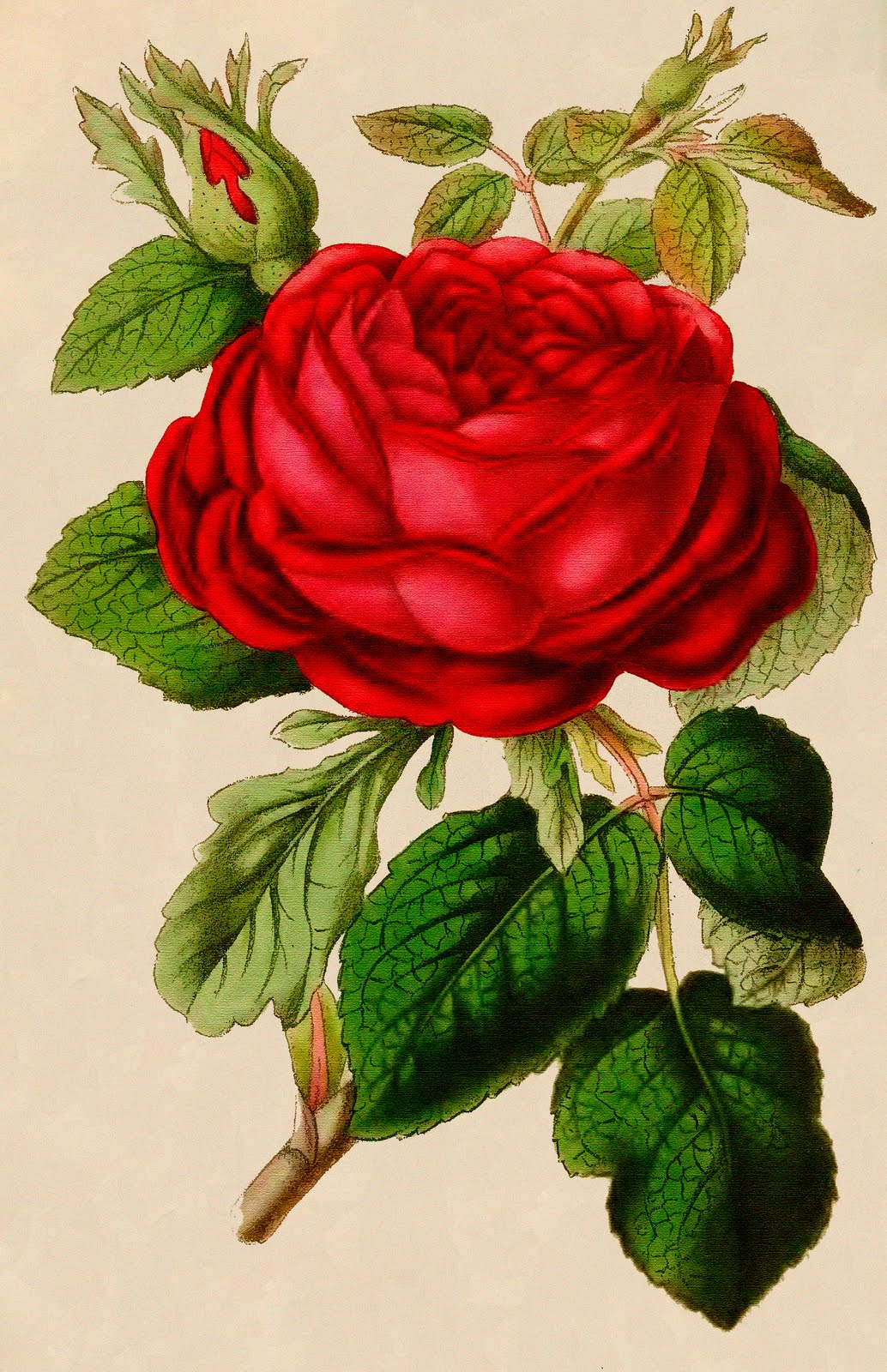 And Border Clip Cream Vintage Rose Pink Art