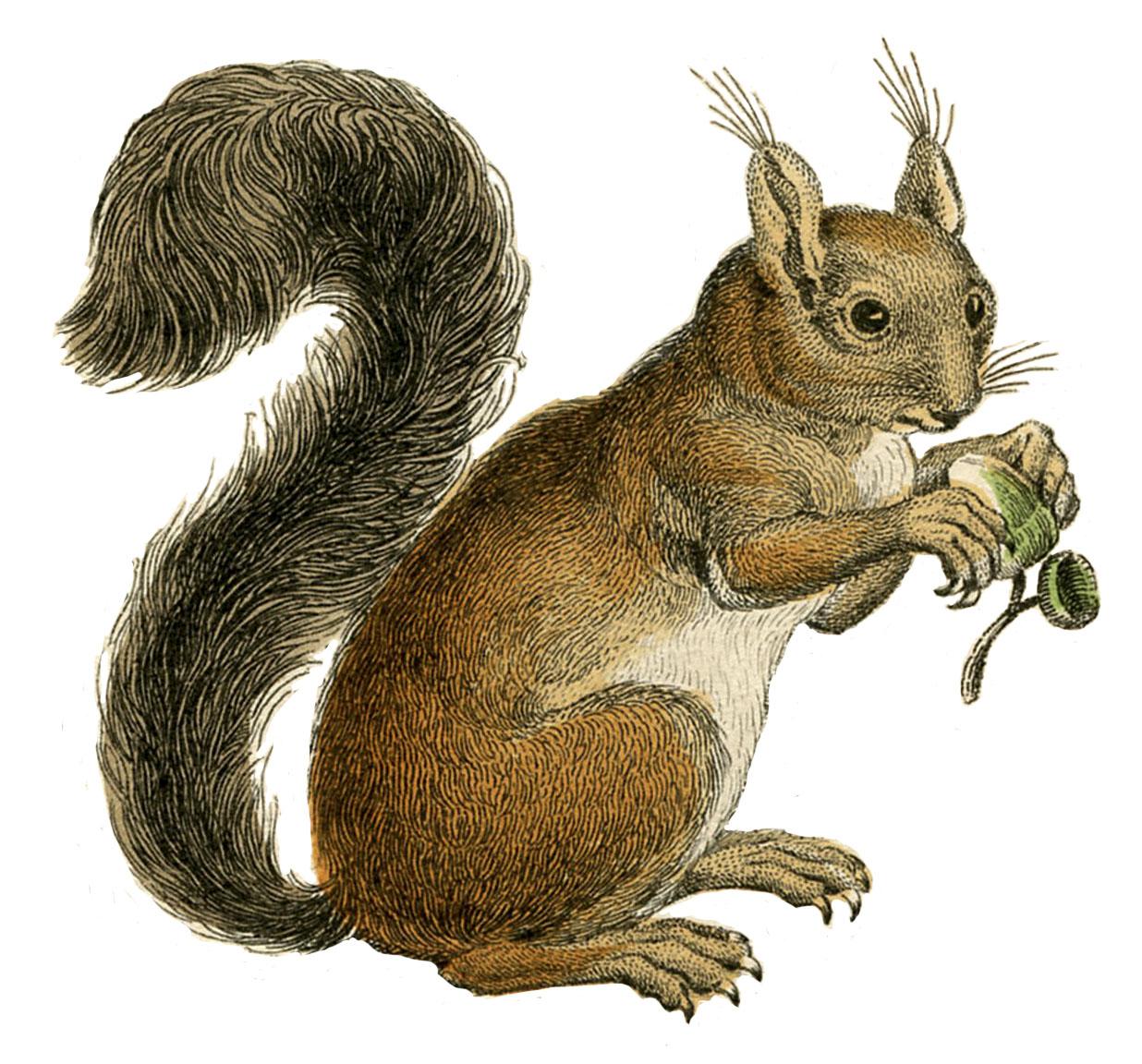 Natural History Instant Art Printable Squirrels Fall
