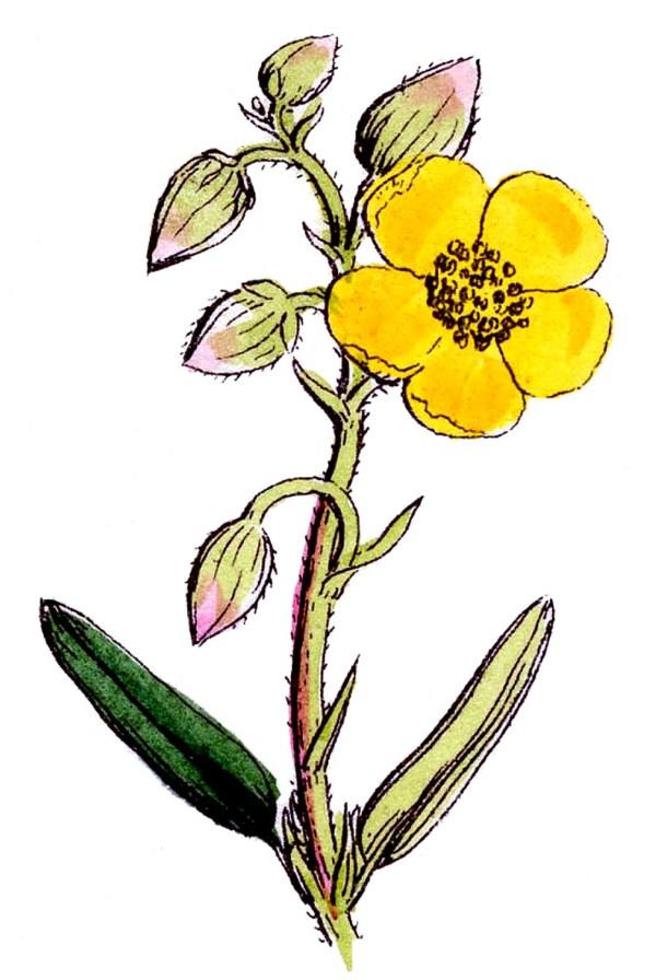 Botanical Graphic - 3 Pretty Wildflowers