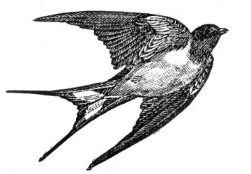 clip birds dictionary bird swallow graphics enlarge
