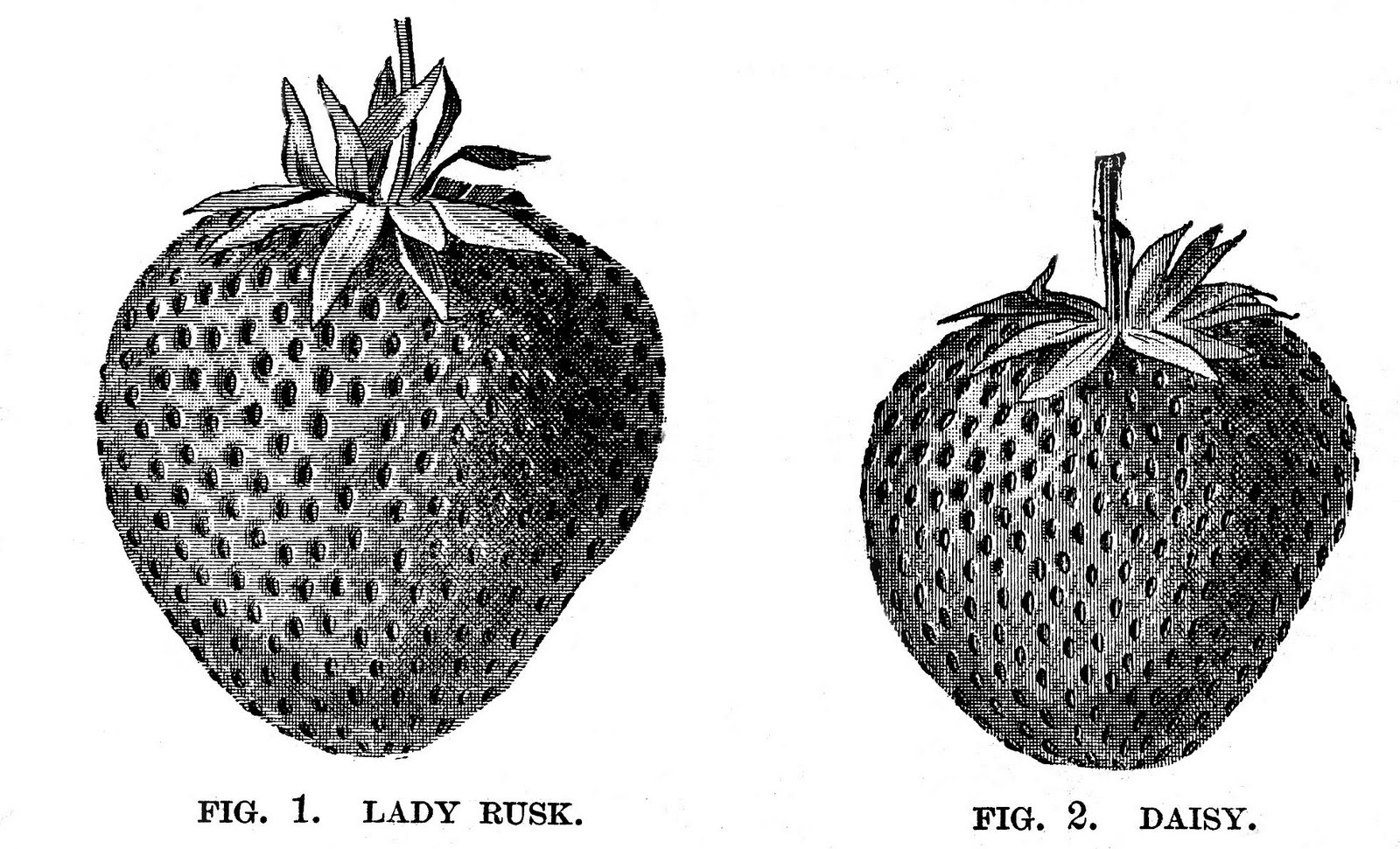 Vintage Clip Art 2 Cute Strawberry Engravings The