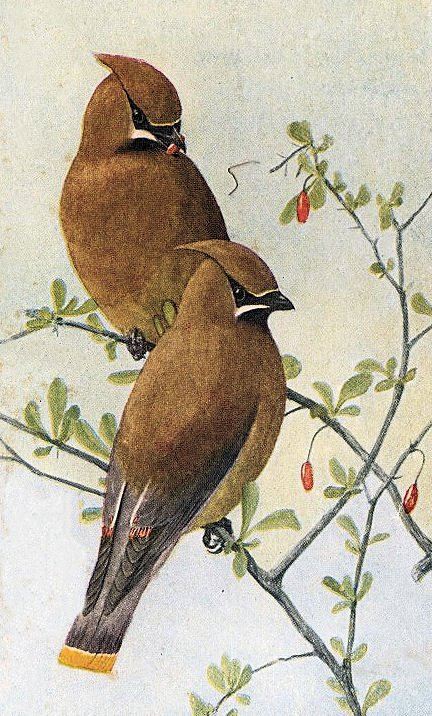 Free Vintage Clip Art Brown Birds The Graphics Fairy