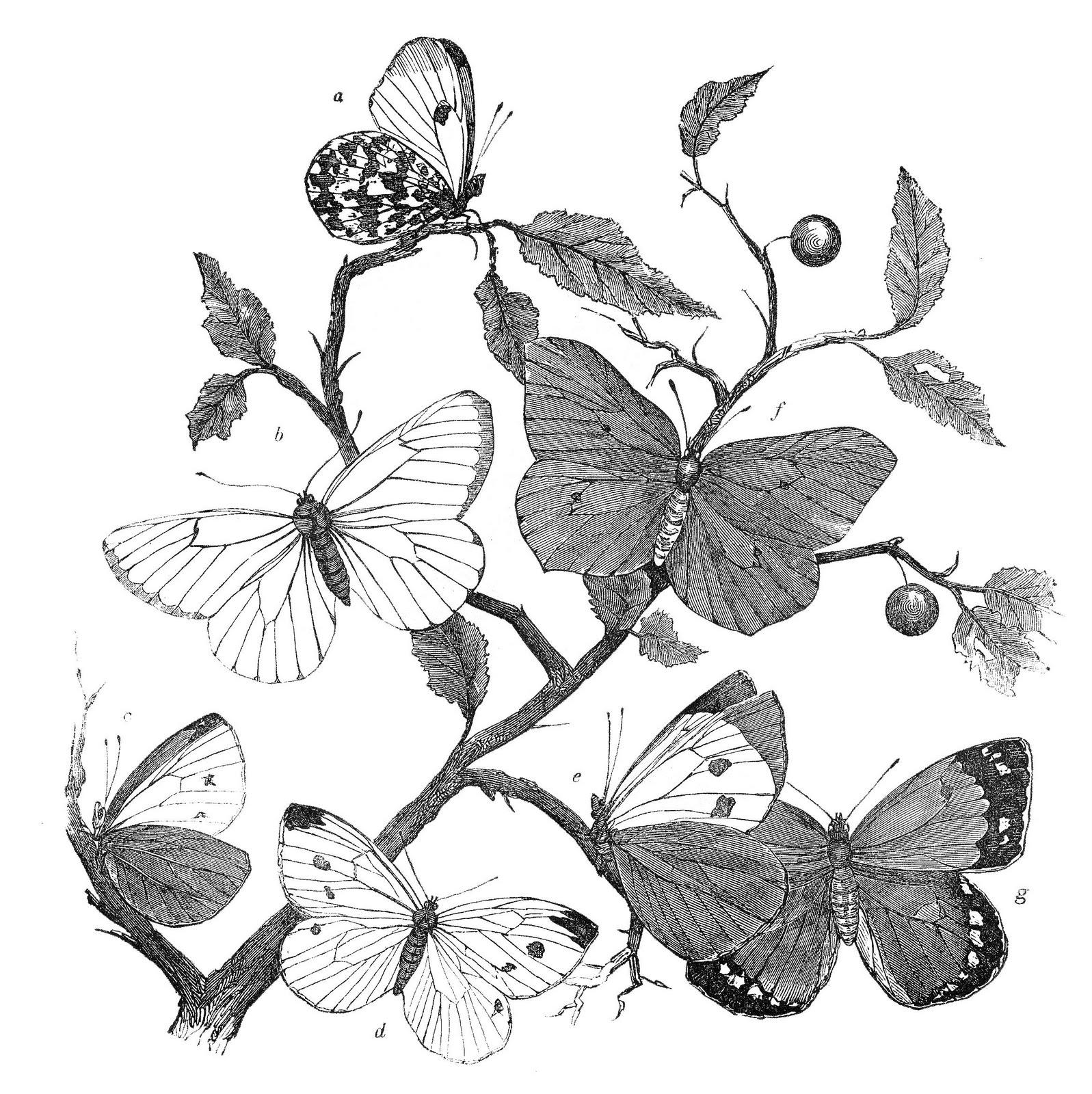 Antique Natural History Clip Art