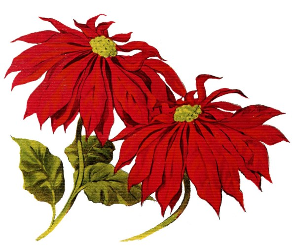 vintage christmas clip art - poinsettias