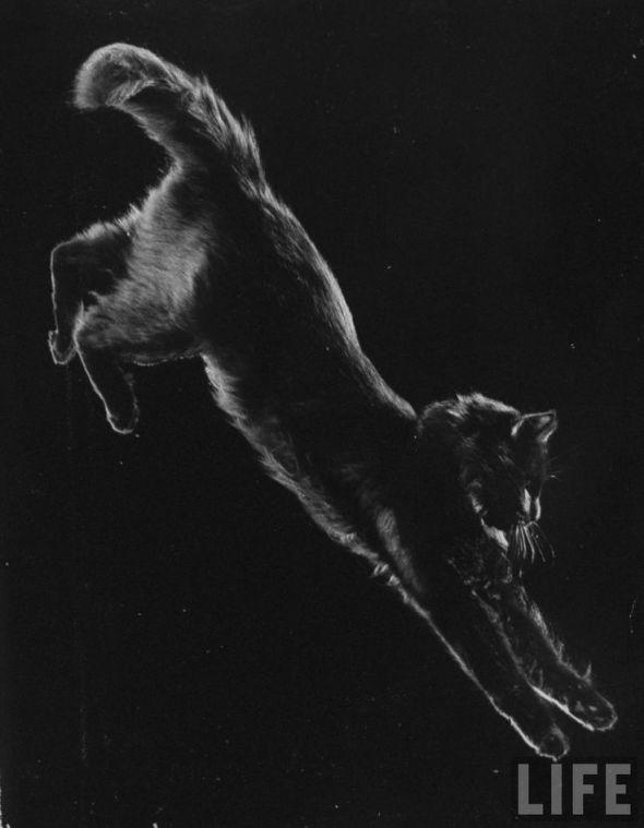 Portrait of cat Blackie, Gjon Mili's cat. Gjon Mili, New York, 1943. Source LIFE Photo Archive,