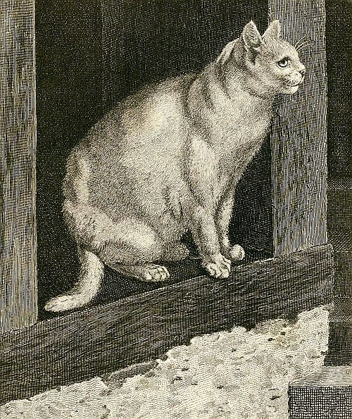 Gottfried Mind cat sketch, Raphael of Cats