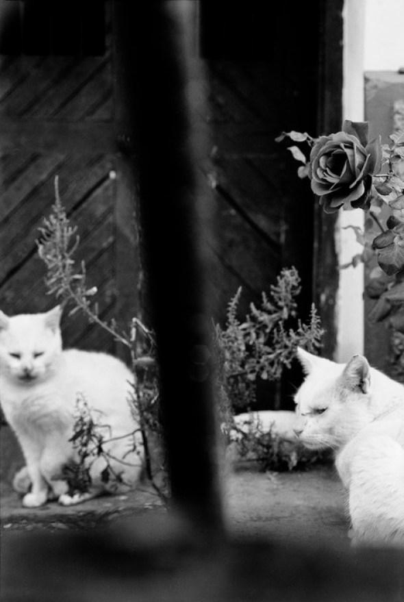 Two White Cats, CHILE. Valparaiso, 1992 Sergio Larrain