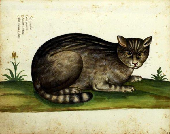 Wild cat - From 'Natura Picta' by Ulisse Aldrovandi