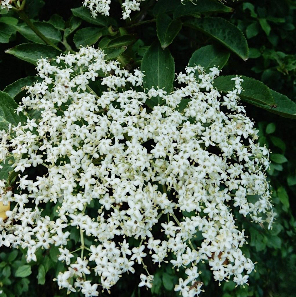 Elderflower bush in season