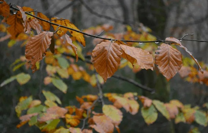 A branch with gold and brown leaves