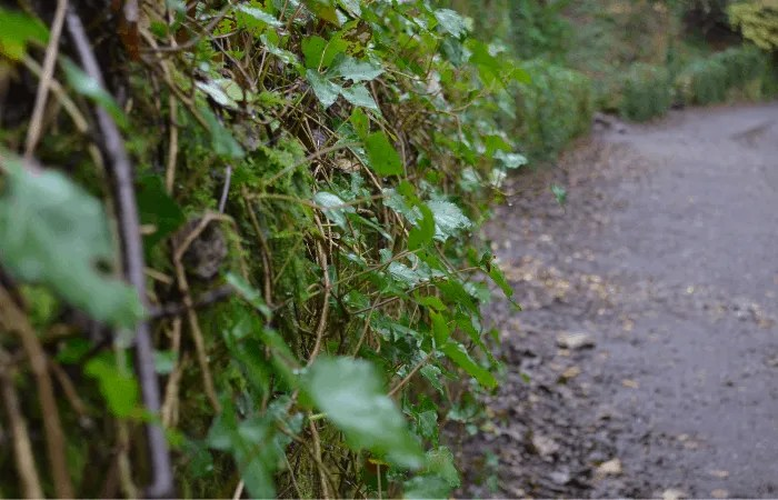 Ivy climbing up a wall