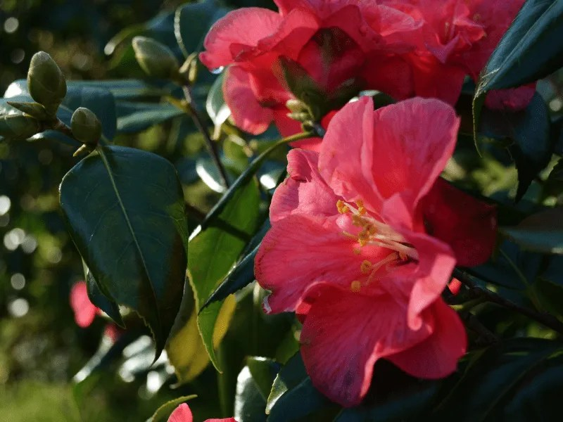 A pink camelia and green leaves