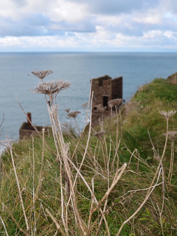 Botallack Tin Mine and dry flowers