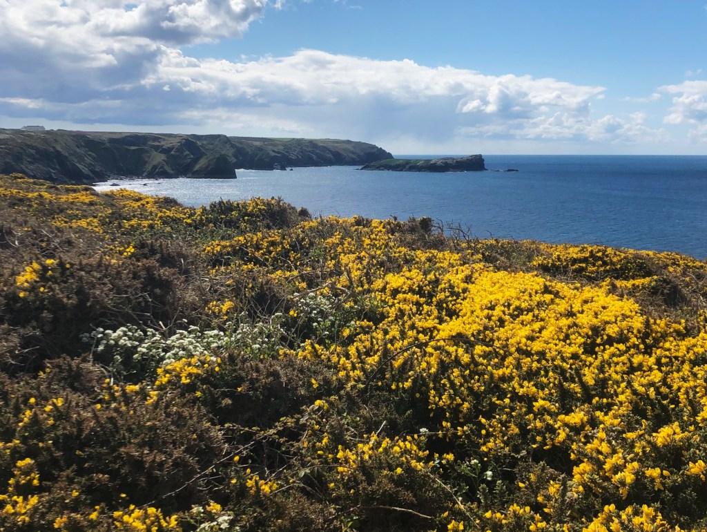 yellow gorse on the Cornish coast in sunshine