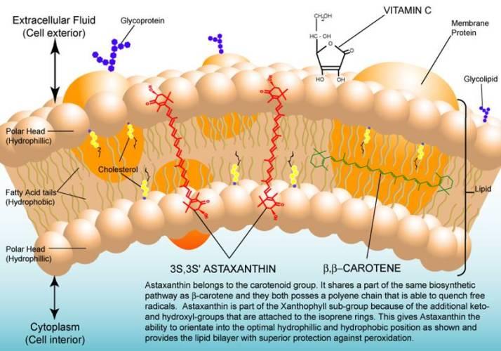 蝦紅素 抗氧化 跨越細胞膜