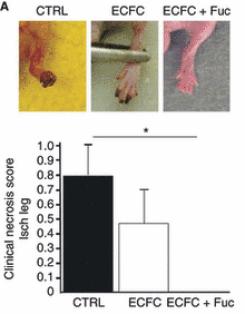 褐藻醣膠-血管新生