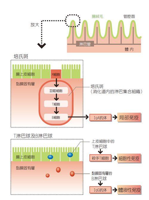 精胺酸與免疫