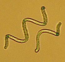 螺旋藻 藍藻